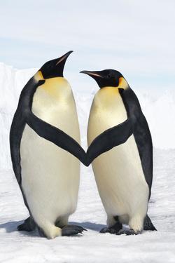 Emperor Penguin Pair Holding Hands