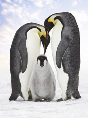 Emperor Penguin, Two Adults with Chick