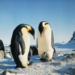Emperor Penguin, Two Adults with Chicks