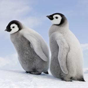 Emperor Penguin, Two Chicks