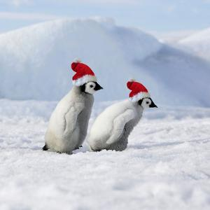 Emperor Penguins, 2 Young Ones Walking in a Line