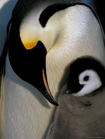 https://imgc.allpostersimages.com/img/posters/emperor-penguins-atka-bay-weddell-sea-antarctic-peninsula-antarctica_u-L-P58BLW0.jpg?artPerspective=n