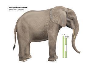 African Forest Elephant (Loxodonta Cyclotis), Mammals by Encyclopaedia Britannica