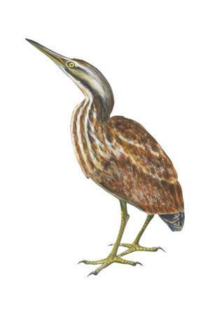 American Bittern (Botaurus Lentiginosus), Birds by Encyclopaedia Britannica