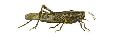 American Grasshopper (Schistocerca Americana), Insects by Encyclopaedia Britannica