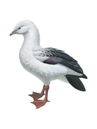 Andean Goose (Chloephaga Melanoptera), Birds by Encyclopaedia Britannica