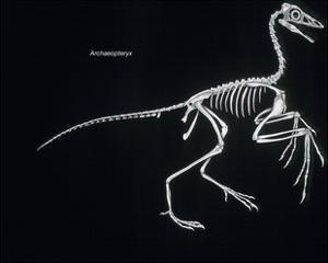 Archaeopteryx Skeleton, Dinosaurs by Encyclopaedia Britannica