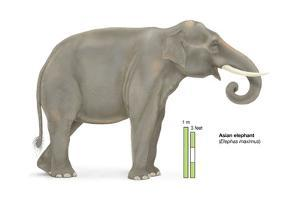 Asian Elephant (Elephas Maximus), Mammals by Encyclopaedia Britannica