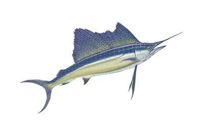 Atlantic Sailfish (Istiophorus Platypterus), Fishes by Encyclopaedia Britannica