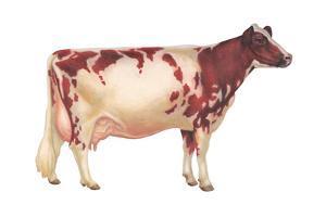 Ayrshire Cow, Dairy Cattle, Mammals by Encyclopaedia Britannica