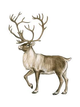 Barren Ground Caribou (Rangifer Arcticus), Mammals by Encyclopaedia Britannica