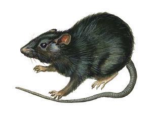 Black Rat (Rattus Rattus), Mammals by Encyclopaedia Britannica