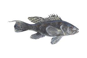 Black Sea Bass (Centropristes Striatus), Fishes by Encyclopaedia Britannica