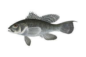 Black Sea Bass (Centropristis Striata), Fishes by Encyclopaedia Britannica