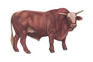 Braford Bull, Beef Cattle, Mammals by Encyclopaedia Britannica