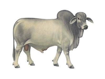 Brahman Bull, Beef Cattle, Mammals by Encyclopaedia Britannica