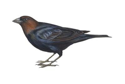Brown-Headed Cowbird (Molothrus Ater), Birds