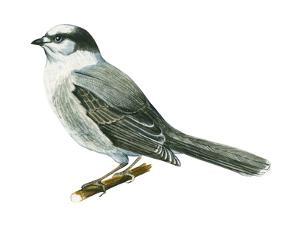 Canada Jay (Perisoreus Canadensis), Birds by Encyclopaedia Britannica