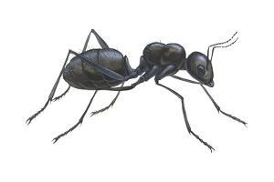 Carpenter Ant (Camponotus Pennsylvanicus), Insects by Encyclopaedia Britannica