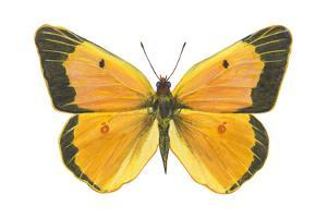 Clouded Sulfur Butterfly (Colias Philodice), Insects by Encyclopaedia Britannica