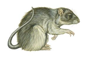 Common Domestic Rat (Rattus Norvegicus), Mammals by Encyclopaedia Britannica