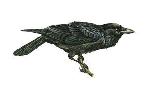 Common Raven (Corvus Corax), Birds by Encyclopaedia Britannica