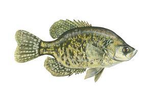Crappie (Pomoxis Nigro-Maculatus), Fishes by Encyclopaedia Britannica