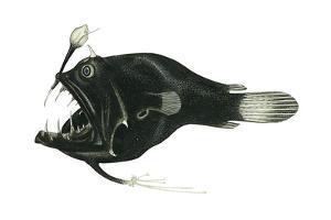Devil Angler (Linophryne Bicornis), Deep Sea Fishes by Encyclopaedia Britannica