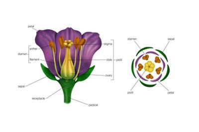 Diagram on Right Shows Arrangement of Floral Parts in Cross Section at the Flower's Base. Plants by Encyclopaedia Britannica