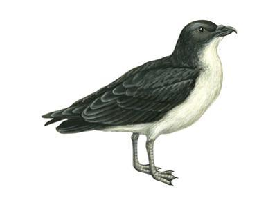 Diving Petrel (Pelecanoides Urinatrix), Birds