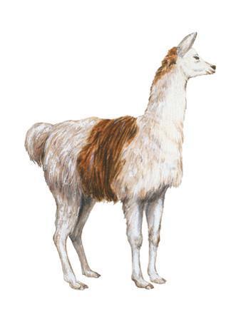 Domestic Llama (Lama Glama), Mammals by Encyclopaedia Britannica