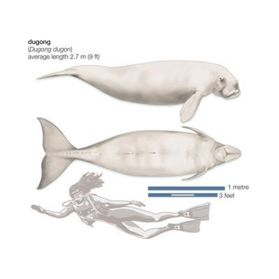 Dugong (Dugong Dugon), Mammals by Encyclopaedia Britannica