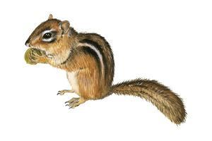 Eastern Chipmunk (Tamias Striatus), Mammals by Encyclopaedia Britannica