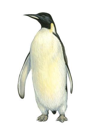 Emperor Penguin (Aptenodytes Forsteri), Birds by Encyclopaedia Britannica