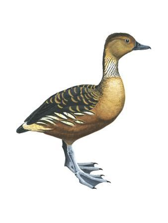Fulvous Tree Duck (Dendrocygna Bicolor), Birds by Encyclopaedia Britannica