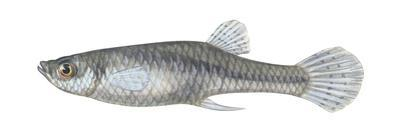 Gambusia (Gambusia Affinis Affinis), Fishes by Encyclopaedia Britannica