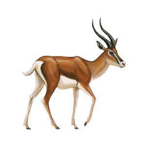 Gazelle (Gazella Granti), Mammals by Encyclopaedia Britannica