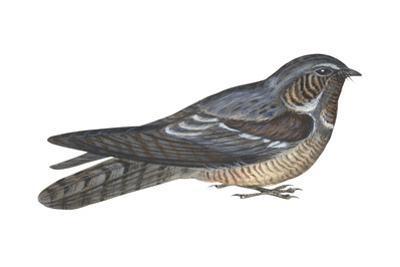 Goatsucker or Nightjar (Caprimulgus Europaeus), Birds