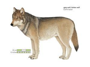 Gray or Timber Wolf (Canis Lupus), Mammals by Encyclopaedia Britannica