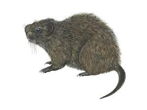 Great Cane Rat (Thryonomys Swinderianus), Mammals by Encyclopaedia Britannica