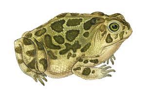 Great Plains Toad (Bufo Cognatus), Amphibians by Encyclopaedia Britannica