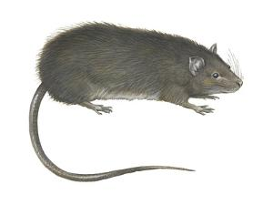 Greater Bandicoot Rat (Bandicota Indica), Mammals by Encyclopaedia Britannica