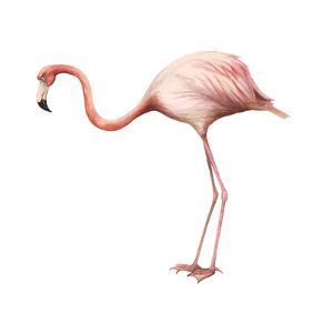 Greater Flamingo (Phoenicopterus Ruber), Birds by Encyclopaedia Britannica