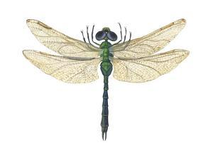 Green Darner Dragonfly (Anax Junius), Insects by Encyclopaedia Britannica