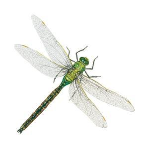 Green Darner - Female (Anax Junius), Dragonfly, Insects by Encyclopaedia Britannica