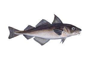 Haddock (Melanogrammus Aeglefinus), Fishes by Encyclopaedia Britannica