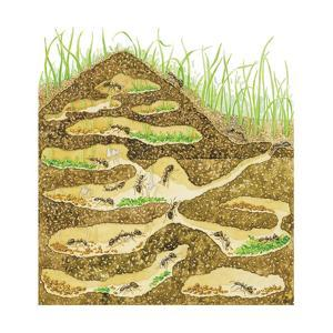 Harvester Ant Colony Cross Section. Insects, Biology by Encyclopaedia Britannica
