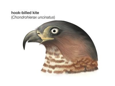 Head of Hook-Billed Kite (Chondrohierax Uncinatus), Birds