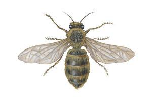 Honeybee (Apis Mellifica), Insects by Encyclopaedia Britannica