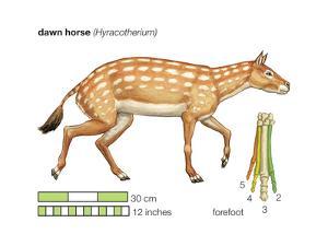Hyracotherium (Eohippus), Extinct Dawn Horse, Mammals by Encyclopaedia Britannica